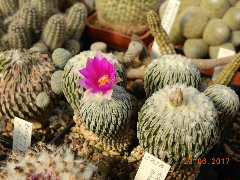 Cacti and Sukkulent in Köln, every day new flowers in the greenhouse Part 188 Bild1704
