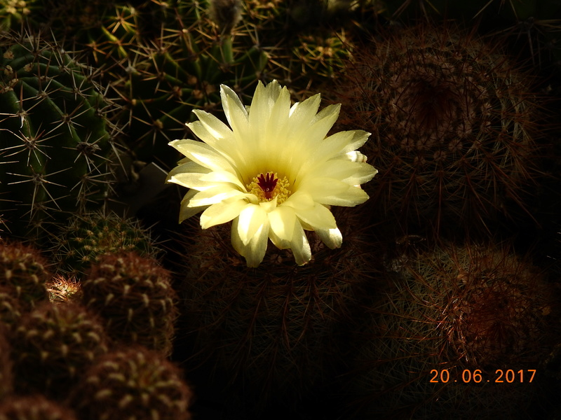 Cacti and Sukkulent in Köln, every day new flowers in the greenhouse Part 188 Bild1710