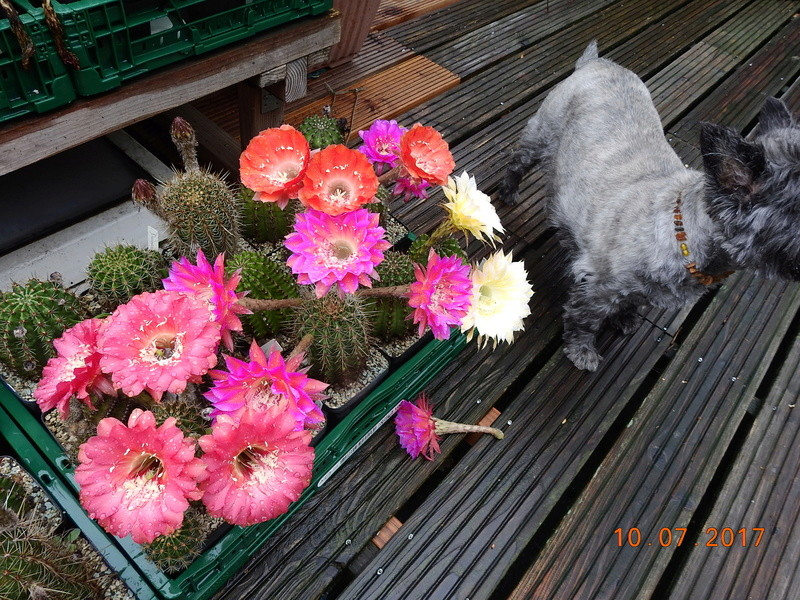 Cacti and Sukkulent in Köln, every day new flowers in the greenhouse Part 189 Bild1728