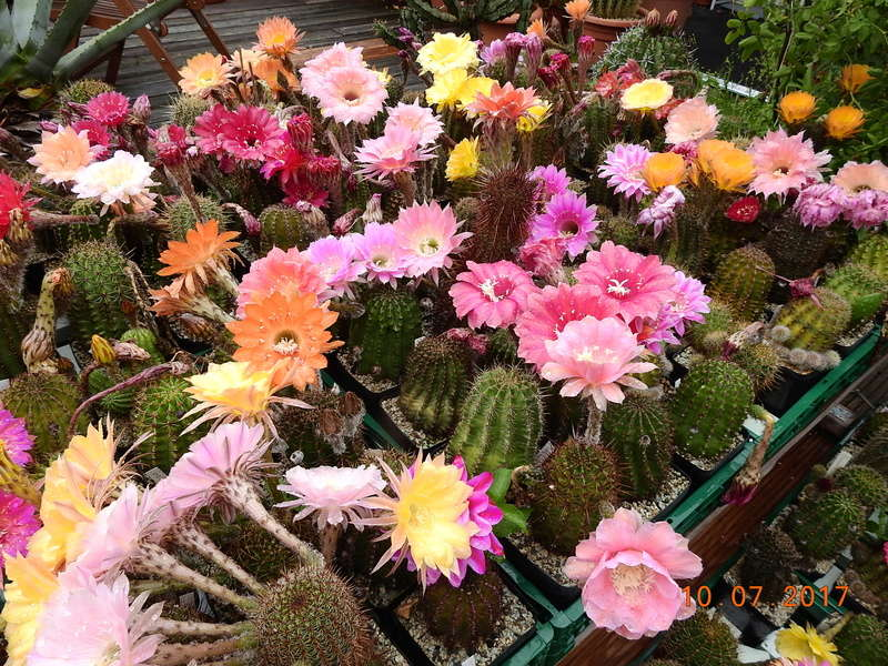 Cacti and Sukkulent in Köln, every day new flowers in the greenhouse Part 189 Bild1731