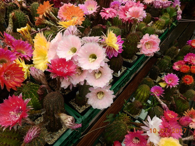 Cacti and Sukkulent in Köln, every day new flowers in the greenhouse Part 189 Bild1732