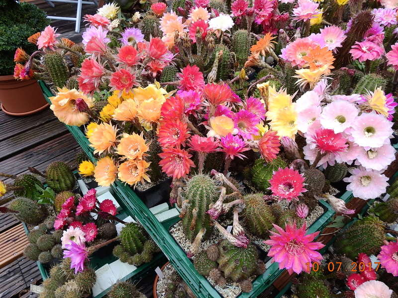 Cacti and Sukkulent in Köln, every day new flowers in the greenhouse Part 189 Bild1735