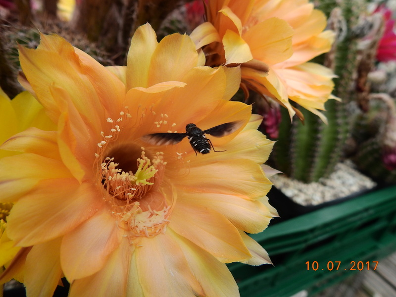 Cacti and Sukkulent in Köln, every day new flowers in the greenhouse Part 189 Bild1738