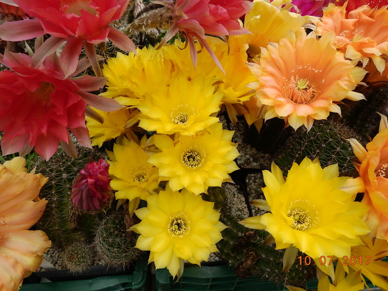 Cacti and Sukkulent in Köln, every day new flowers in the greenhouse Part 189 Bild1740