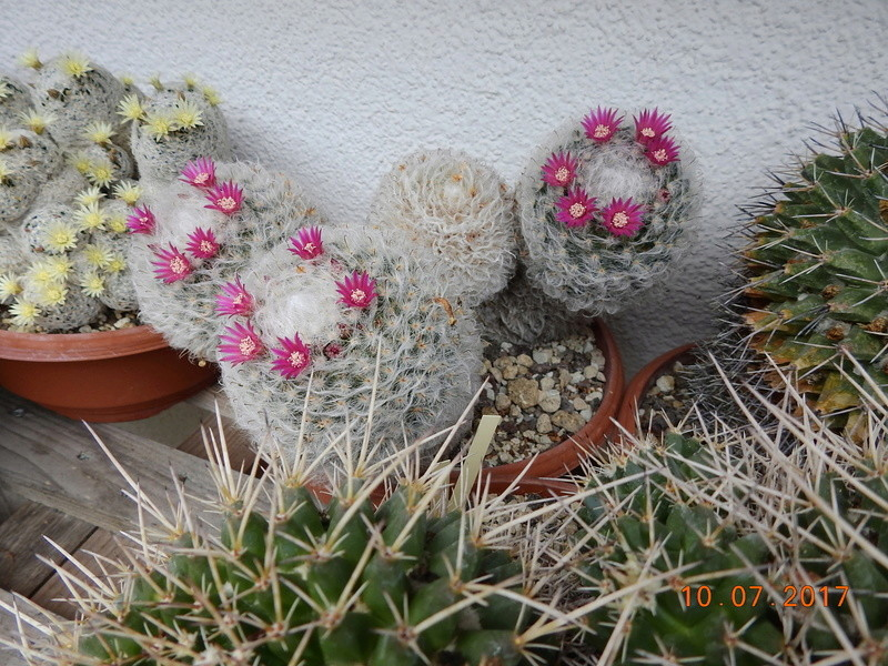Cacti and Sukkulent in Köln, every day new flowers in the greenhouse Part 189 Bild1744