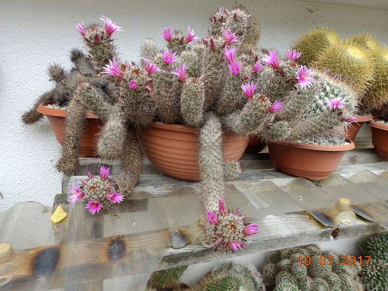 Cacti and Sukkulent in Köln, every day new flowers in the greenhouse Part 189 Bild1745