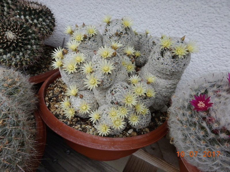 Cacti and Sukkulent in Köln, every day new flowers in the greenhouse Part 189 Bild1746