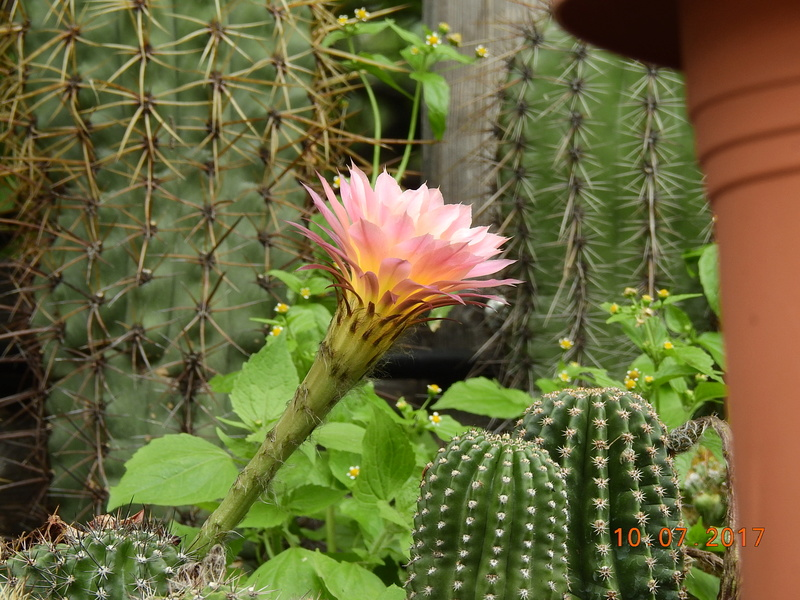 Cacti and Sukkulent in Köln, every day new flowers in the greenhouse Part 189 Bild1754