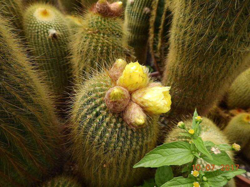 Cacti and Sukkulent in Köln, every day new flowers in the greenhouse Part 189 Bild1755