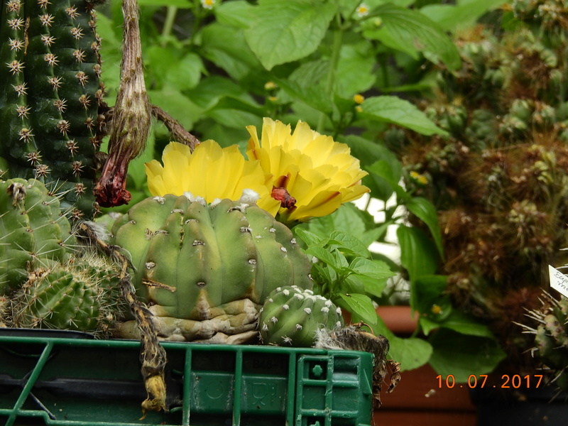 Cacti and Sukkulent in Köln, every day new flowers in the greenhouse Part 189 Bild1756