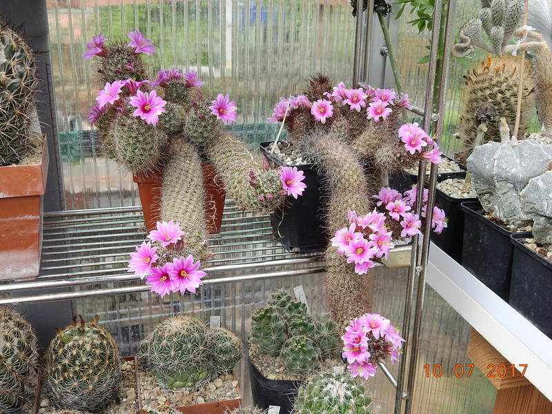 Cacti and Sukkulent in Köln, every day new flowers in the greenhouse Part 189 Bild1759