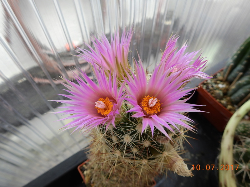 Cacti and Sukkulent in Köln, every day new flowers in the greenhouse Part 189 Bild1763