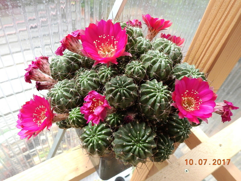 Cacti and Sukkulent in Köln, every day new flowers in the greenhouse Part 189 Bild1769