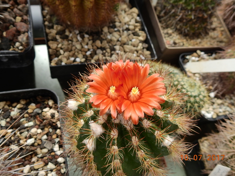 Cacti and Sukkulent in Köln, every day new flowers in the greenhouse Part 189 Bild1771