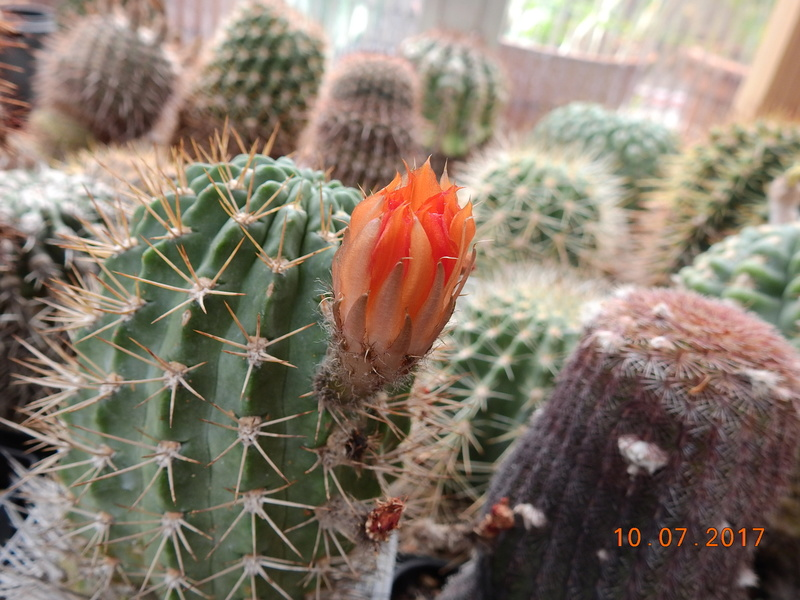 Cacti and Sukkulent in Köln, every day new flowers in the greenhouse Part 189 Bild1773