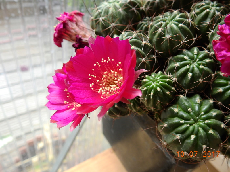 Cacti and Sukkulent in Köln, every day new flowers in the greenhouse Part 189 Bild1774