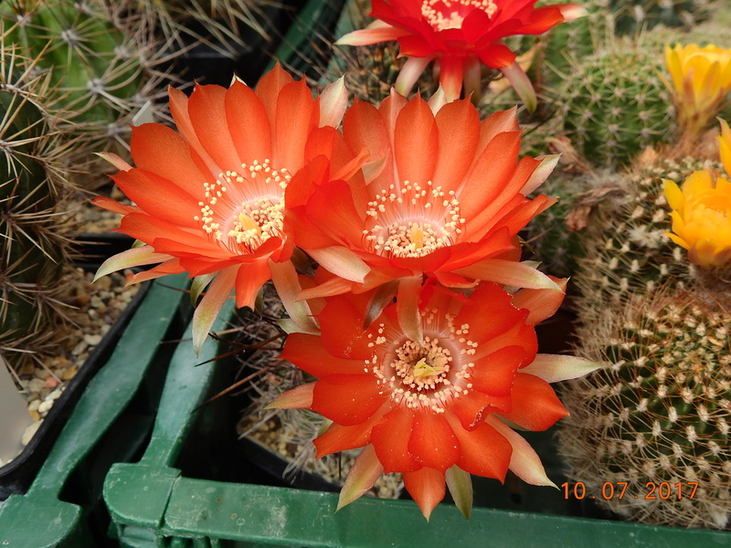 Cacti and Sukkulent in Köln, every day new flowers in the greenhouse Part 189 Bild1776