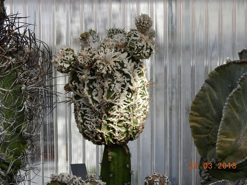 Cacti and Sukkulent in Köln, every day new flowers in the greenhouse Part 189 Bild1778