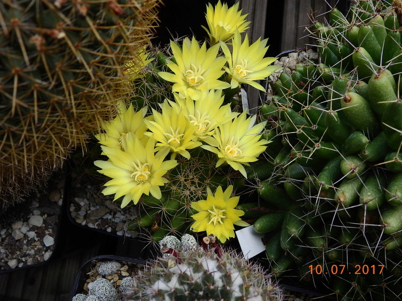 Cacti and Sukkulent in Köln, every day new flowers in the greenhouse Part 189 Bild1784