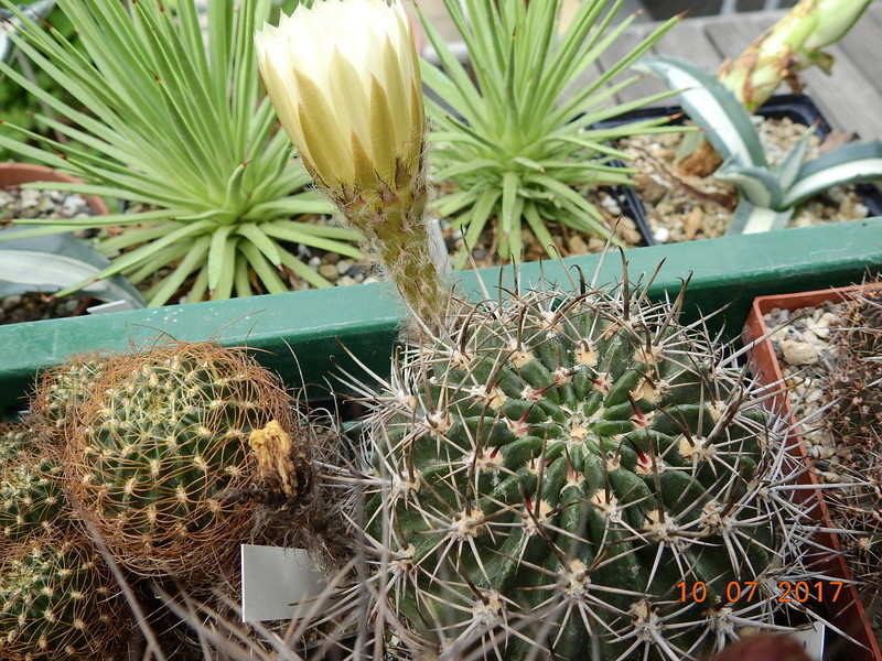 Cacti and Sukkulent in Köln, every day new flowers in the greenhouse Part 189 Bild1789