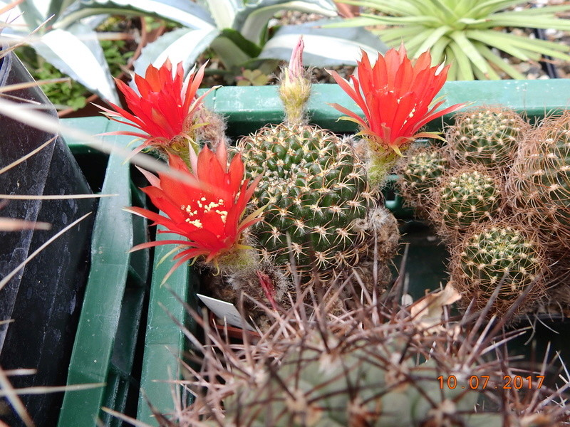 Cacti and Sukkulent in Köln, every day new flowers in the greenhouse Part 189 Bild1790