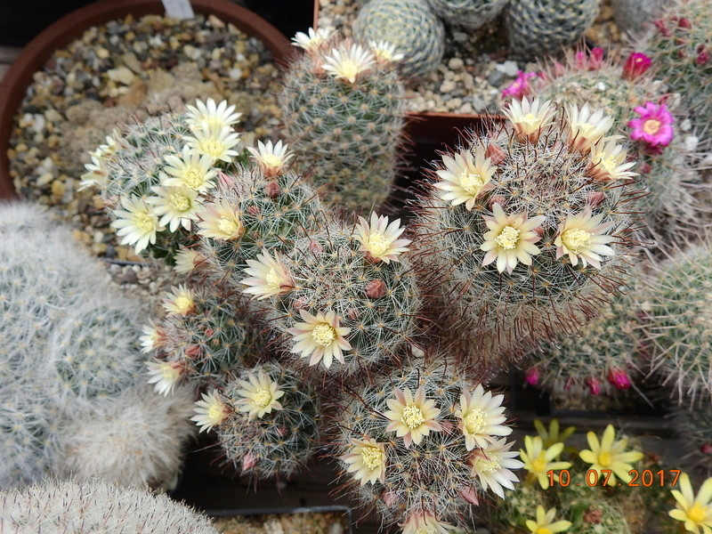 Cacti and Sukkulent in Köln, every day new flowers in the greenhouse Part 189 Bild1792