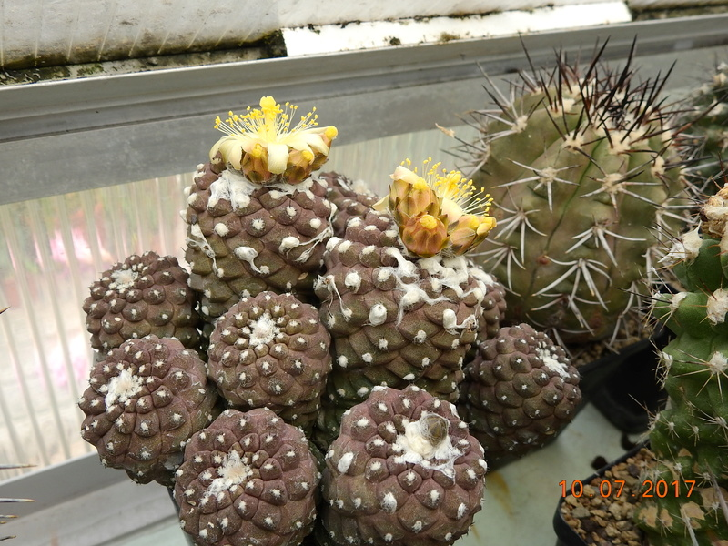 Cacti and Sukkulent in Köln, every day new flowers in the greenhouse Part 189 Bild1793