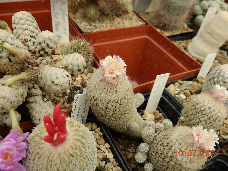 Cacti and Sukkulent in Köln, every day new flowers in the greenhouse Part 189 Bild1797