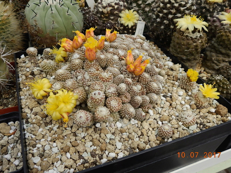 Cacti and Sukkulent in Köln, every day new flowers in the greenhouse Part 189 Bild1799
