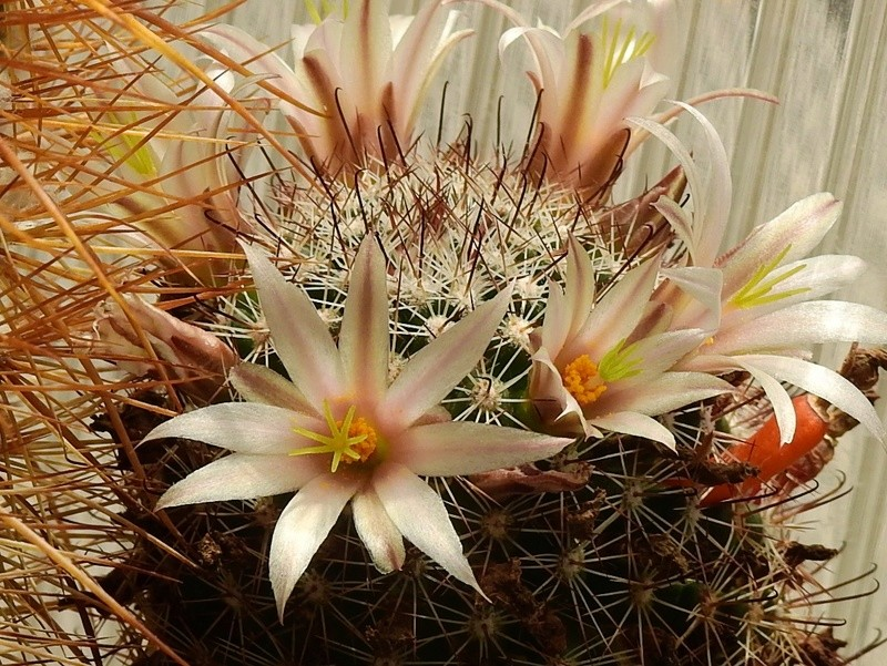 Cacti and Sukkulent in Köln, every day new flowers in the greenhouse Part 189 Bild1802