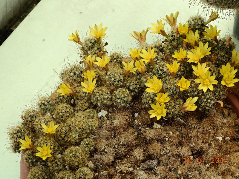 Cacti and Sukkulent in Köln, every day new flowers in the greenhouse Part 189 Bild1806