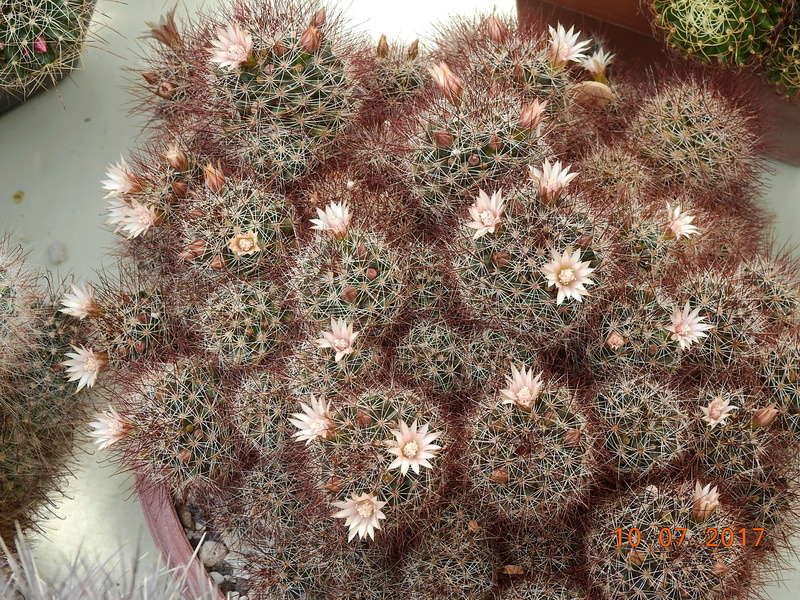 Cacti and Sukkulent in Köln, every day new flowers in the greenhouse Part 189 Bild1807