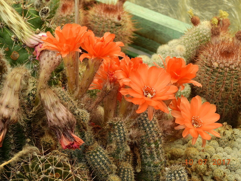 Cacti and Sukkulent in Köln, every day new flowers in the greenhouse Part 189 Bild1815