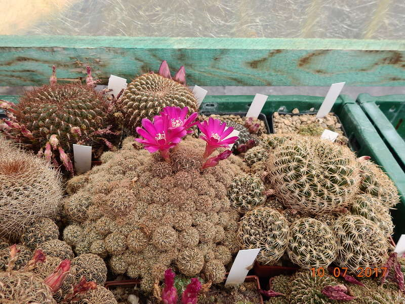 Cacti and Sukkulent in Köln, every day new flowers in the greenhouse Part 189 Bild1816