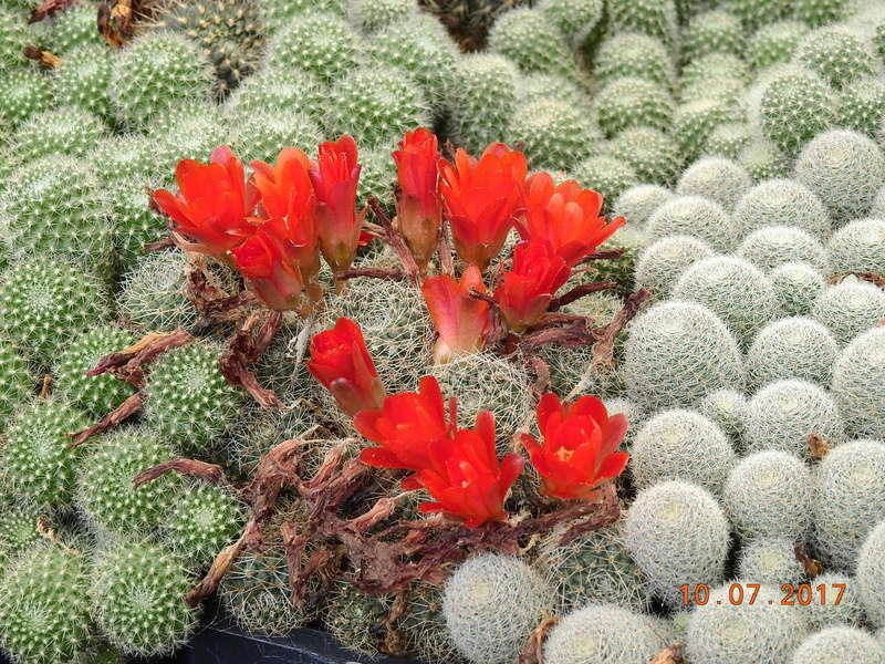 Cacti and Sukkulent in Köln, every day new flowers in the greenhouse Part 189 Bild1818