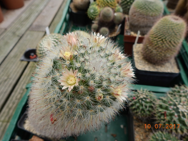 Cacti and Sukkulent in Köln, every day new flowers in the greenhouse Part 189 Bild1823