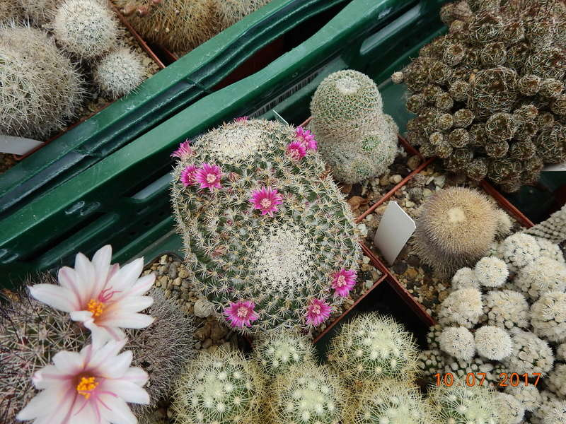 Cacti and Sukkulent in Köln, every day new flowers in the greenhouse Part 189 Bild1824