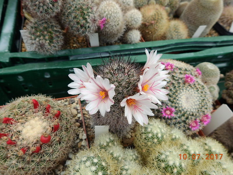 Cacti and Sukkulent in Köln, every day new flowers in the greenhouse Part 189 Bild1825