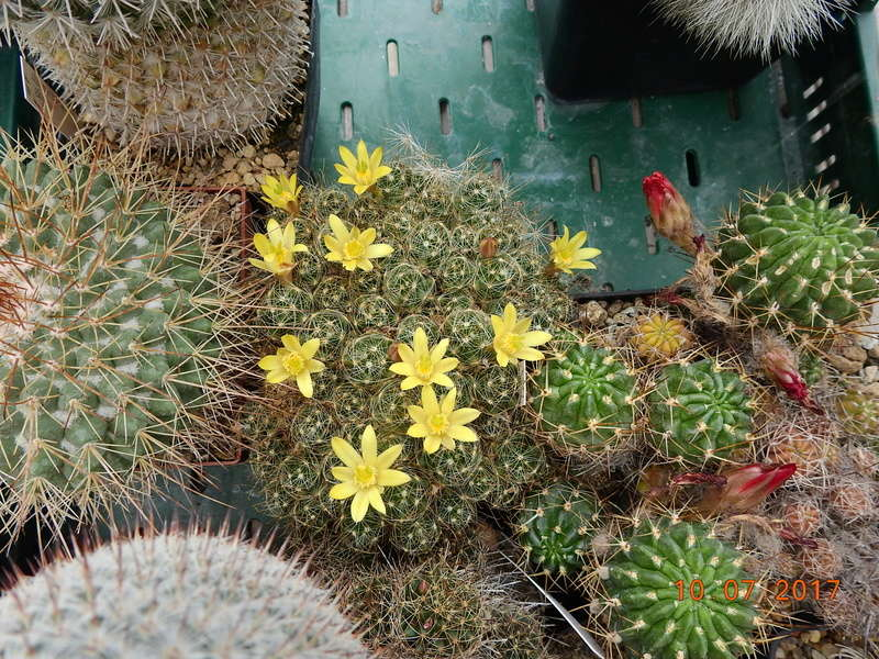 Cacti and Sukkulent in Köln, every day new flowers in the greenhouse Part 189 Bild1827
