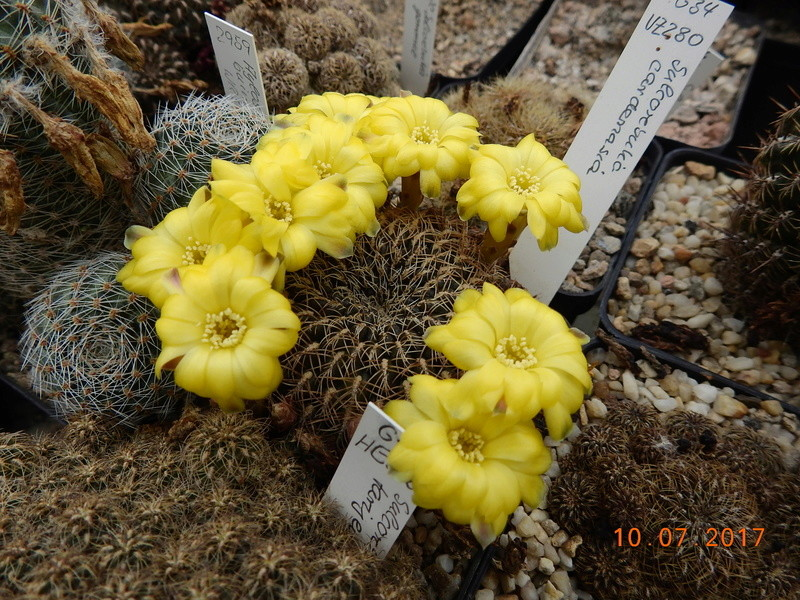 Cacti and Sukkulent in Köln, every day new flowers in the greenhouse Part 189 Bild1828
