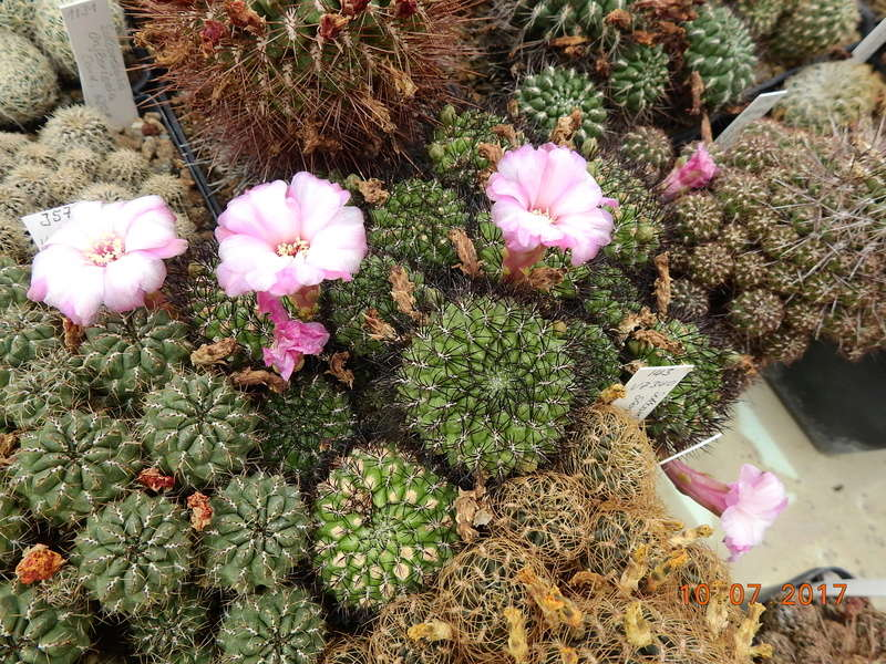 Cacti and Sukkulent in Köln, every day new flowers in the greenhouse Part 189 Bild1837