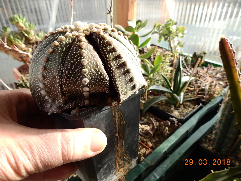 Cacti and Sukkulent in Köln, every day new flowers in the greenhouse Part 189 Bild1845