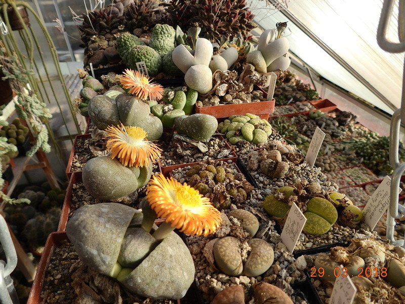 Cacti and Sukkulent in Köln, every day new flowers in the greenhouse Part 189 Bild1846