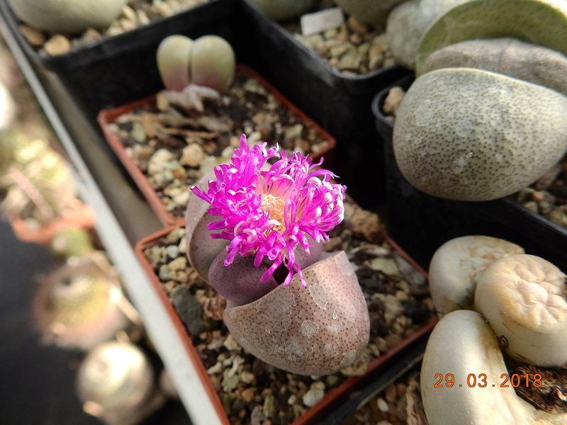 Cacti and Sukkulent in Köln, every day new flowers in the greenhouse Part 189 Bild1847