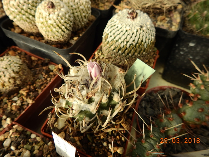 Cacti and Sukkulent in Köln, every day new flowers in the greenhouse Part 189 Bild1848