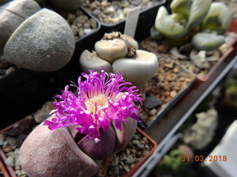Cacti and Sukkulent in Köln, every day new flowers in the greenhouse Part 189 Bild1863