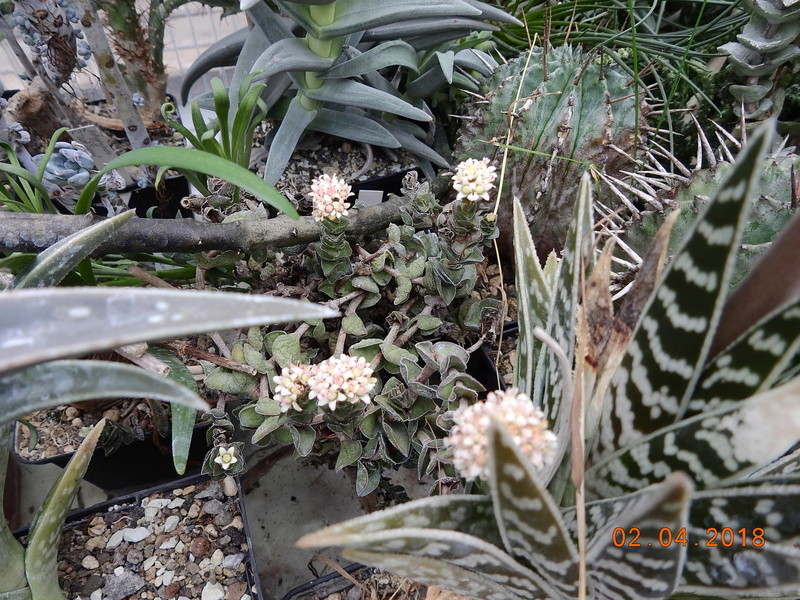 Cacti and Sukkulent in Köln, every day new flowers in the greenhouse Part 189 Bild1864