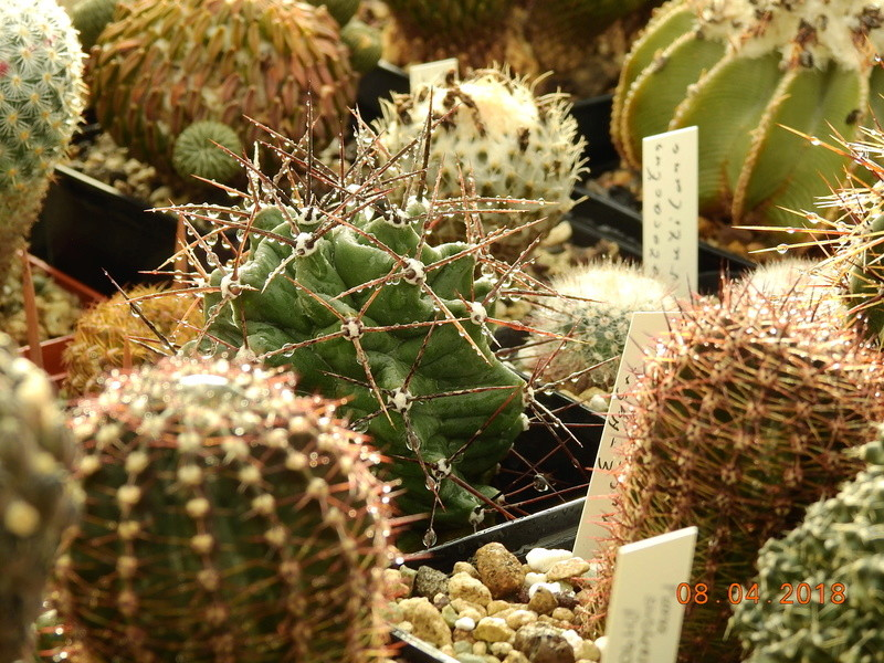 Cacti and Sukkulent in Köln, every day new flowers in the greenhouse Part 190 Bild1880