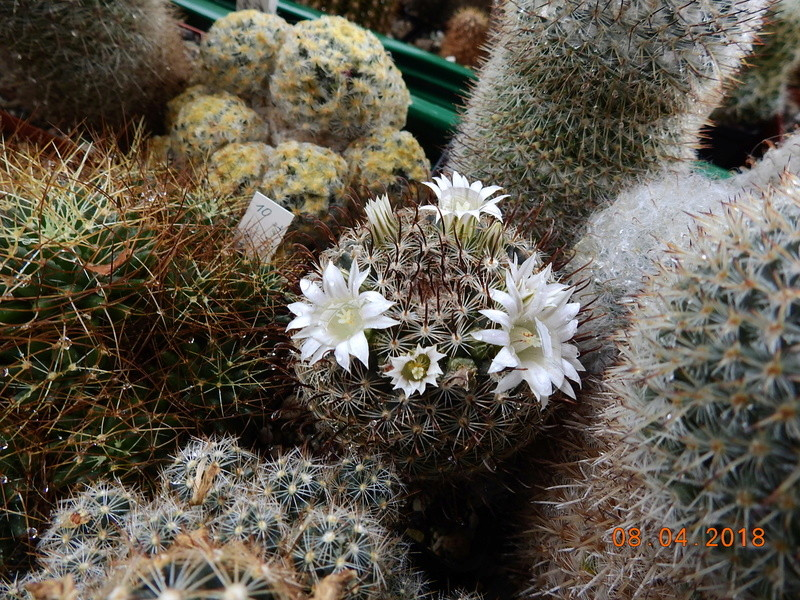 Cacti and Sukkulent in Köln, every day new flowers in the greenhouse Part 190 Bild1885