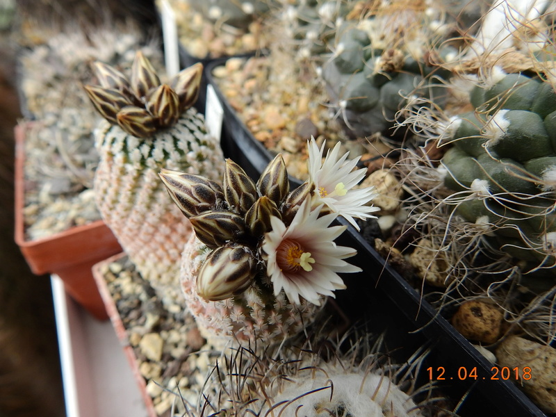 Cacti and Sukkulent in Köln, every day new flowers in the greenhouse Part 191 Bild1959